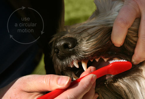 webmd_photo_of_brushing_dogs_teeth2
